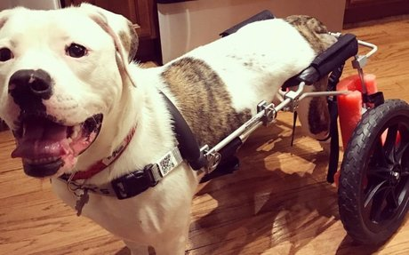 Pup Zooms Around in Wheelchair After Hind Legs are Paralyzed in Car Crash