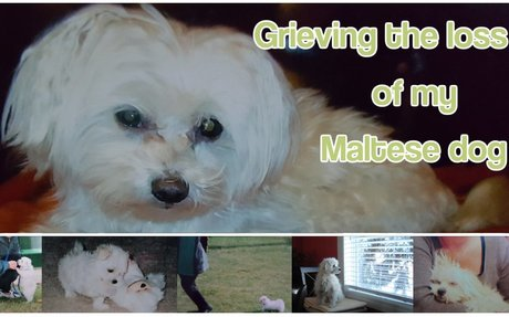 Grieving the Loss of My Maltese Dog