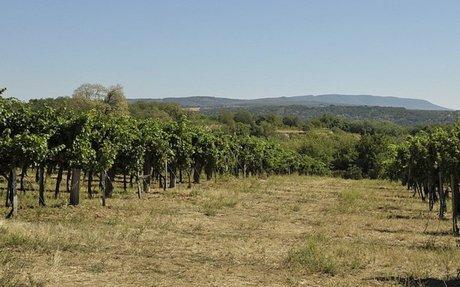 Jó lesz az idei szőlőtermés - sok pálinka készülhet
