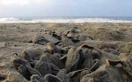 News: Habitat Loss may cause Sea Turtles to become homeless