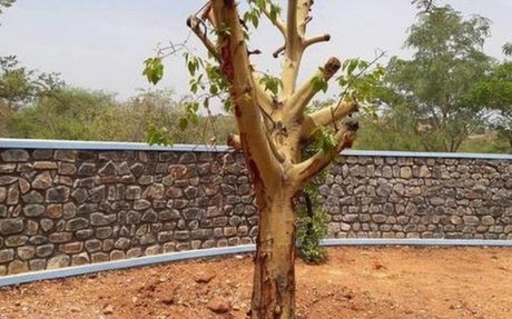 Translocation: New road to saving trees in Gadag
