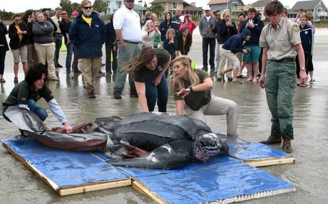NEWS- Leatherbacks possibly removed from the endangered species list?