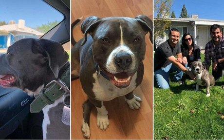 Found! Fresno rallies to bring home Steve the lost pit bull. 'Love won today'