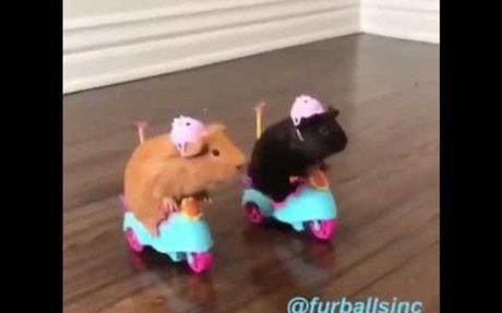 SILLY GUINEA PIGS