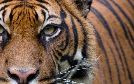 Take Action for Tigers - WWF-Australia