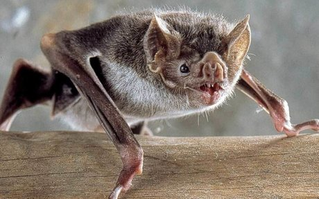 How Bats Evolved Into Vampires & What It Takes To Live On Blood