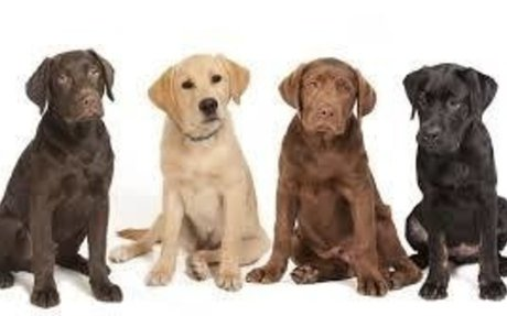 Labrador Dog Breed Information, Pictures, Characteristics & Facts - Dogtime