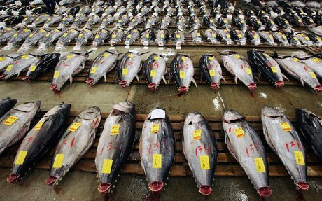 web: Countries Pledge To Recover Dwindling Pacific Bluefin Tuna Population