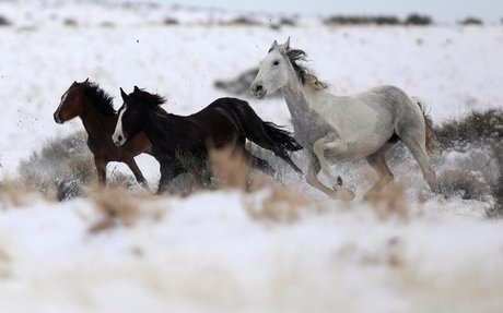 Wild horses could be sold for slaughter in Trump budget plan