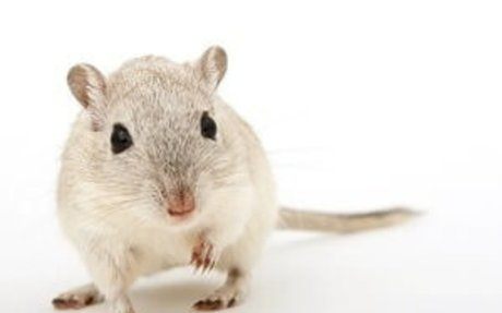 Trained Rat and Mice Exterminator in Arlington Heights IL