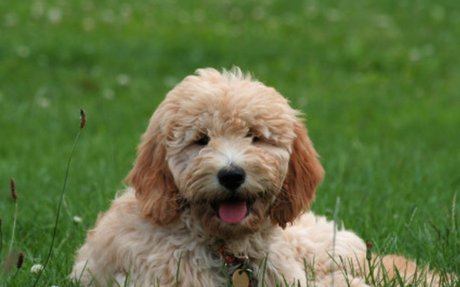 Goldendoodle Dog Breed | Information on Goldendoodles