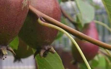 How to Graft Fruit Trees | Urban Orchard Project