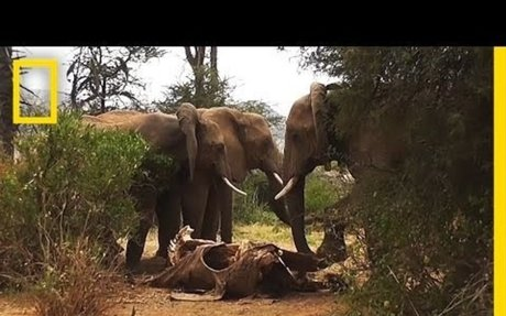 "Elephants ""Mourn"" Their Dead Within Social Circles"