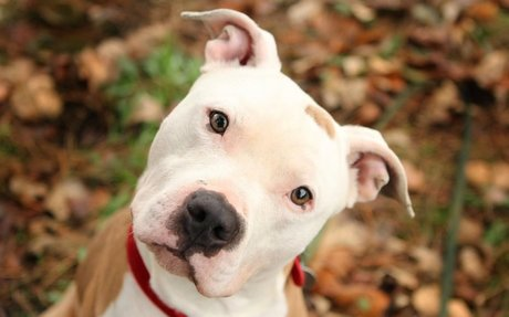 Truth about Pit Bull Terriers, Training Help, Pictures, Resources | PitBulls