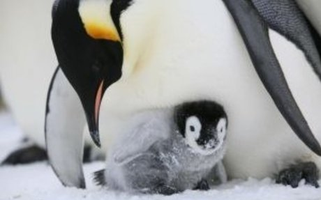 Male Emperor penguins and their Eggs
