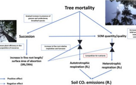 Cascading effects associated with climate-change-induced conifer mortality in mountain temperate forests result in hot-spots of soil CO2 emissions