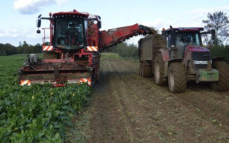 Early sugar beet yields good despite drought and virus