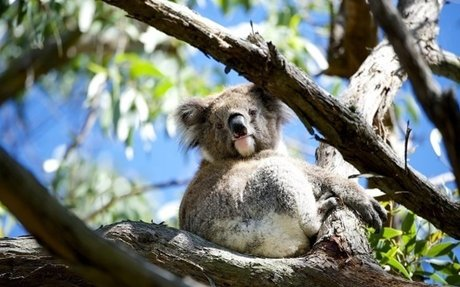 Program to rescue starving Koalas in the Otways