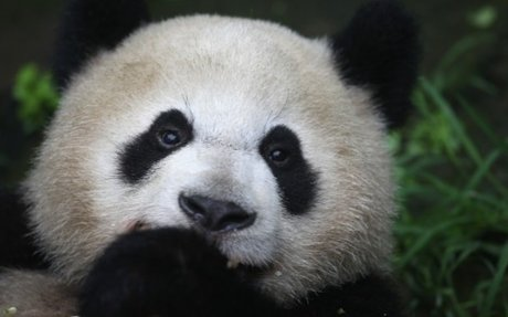 Pandas are one of my most favorite animals.