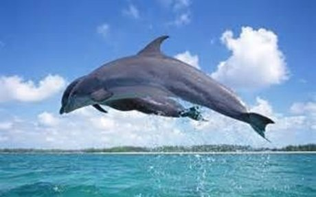 dolphin - Yahoo Search Results Yahoo Image Search Results
