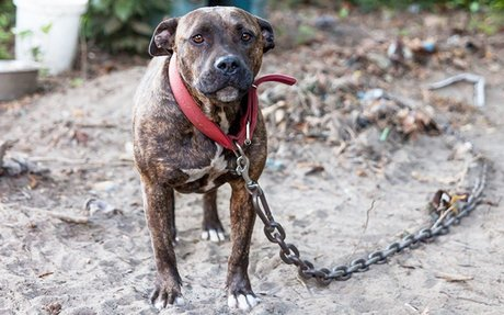 Sign the Petition and End Dogfighting!
