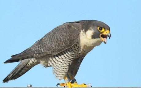 The Perigrine Falcon