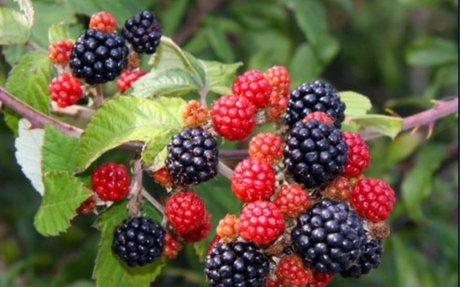 Wild Berries (Food)