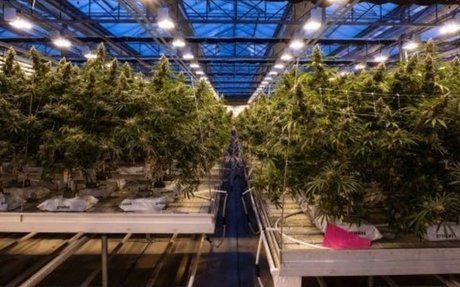 CEO pleads for Trump to help America's marijuana industry as Canada gets a head start on l