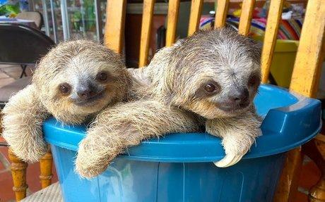 Cute Baby Sloths Learn To Climb