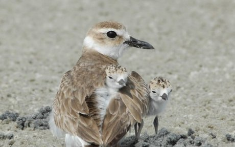 A Wilson Plover with her chicks in the Golden Isles.