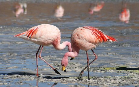 Flamingo - Wikipedia