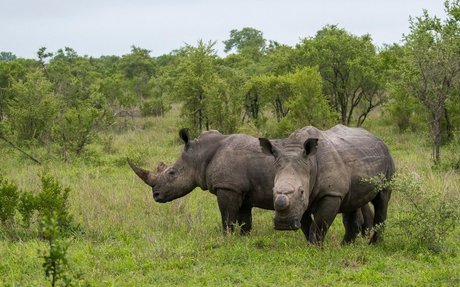 Rhinos Are Also Coronavirus Victims