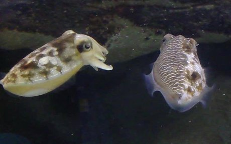 Cuttlefish Put on Gender-Bending Disguise to Increase Chances of Getting Mate