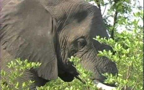 Elephants Eating