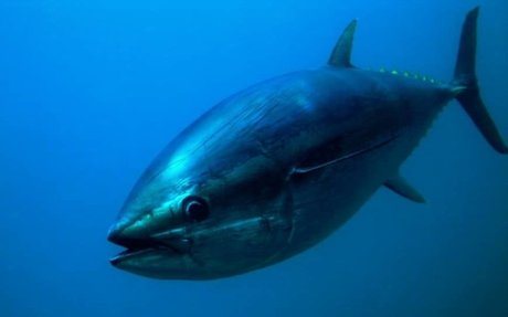 WEBSITE: (GOOD) Bluefin are rad