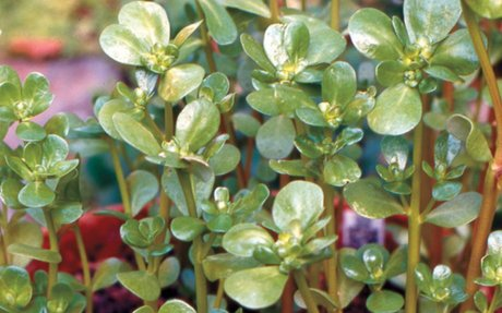 Power-Packed Purslane