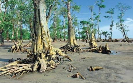 Climate change impact: Sunderbans steadily losing its famed mangroves