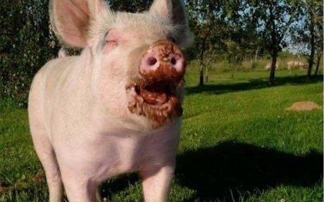 Top 50 Funny Pig Pictures