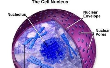 Function of the Nucleus