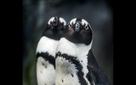 Penguin Live Web Cam at the Monterey Bay Aquarium