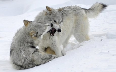 Yellowstone Wolves | Grizzly & Wolf Discovery Center