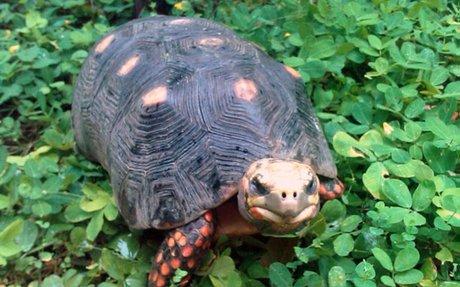 tortoise- I own a cherry head