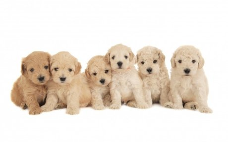 Golden Doodles are the best