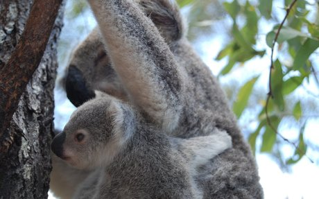 Magnetic Island Tourism in Queensland Australia. Koalas HQ