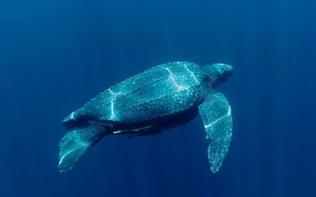 SOLUTION- Preventing Extinction of Leatherbacks