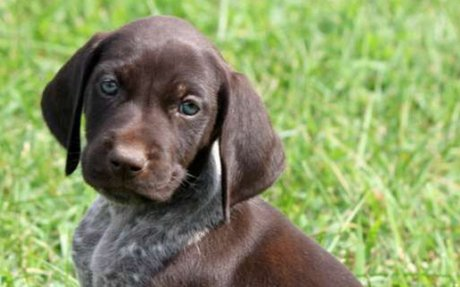 German Shorthaired Pointer Dog Breed Information, Pictures, Characteristics & Facts - Dogt