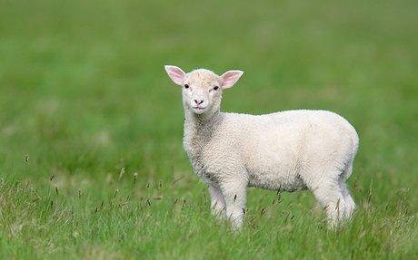 I'm raising a lamb for FFA