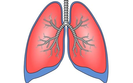 Lab-Grown Lungs, Shown To Work As Intended, In Large Animal Model
