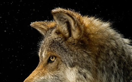 Wolf | National Geographic (Grey wolf)