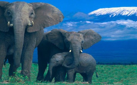 Social Order Of Elephants